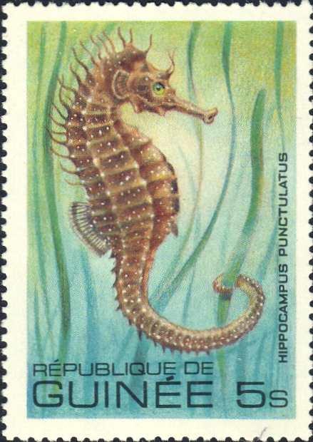 Hippocampus punctulatus