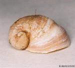 Velutina velutina (Müller O.F., 1776)