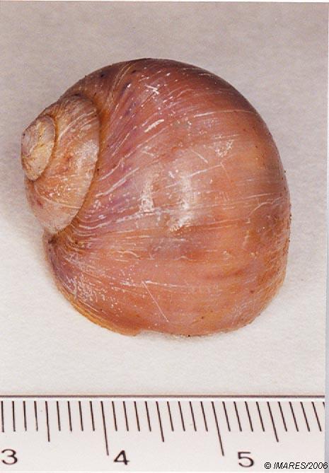 Polinices (Lunatia) catena (da Costa, 1778)