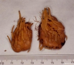 Polymastia sp. (probably P. penicillus)