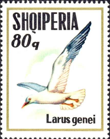 Larus genei