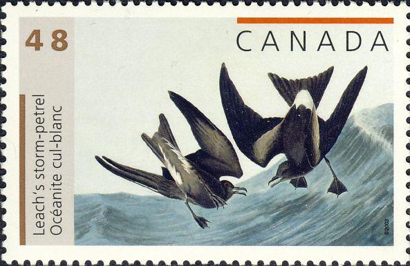 Oceanodroma leucorhoa