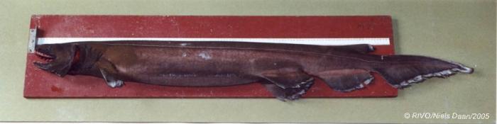 Chlamydoselachus anguineus Garman, 1884