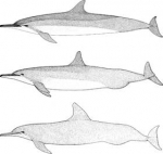 3 forms of spinner dolphin in the Pacific: Gray's (S. l. longirostris),top; eastern (S. l. orientalis), bottom; and intermediate whitebelly form, middle.