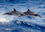 Gray's spinner dolphins (S. l. longirostris)