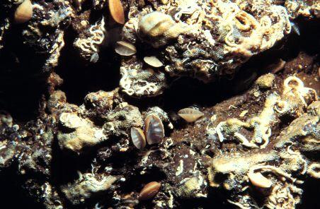 Megathiris detruncata from Madeira