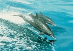 Pantropical spotted dolphins (Stenella attenuata) - mother and calf.