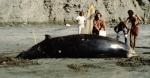 Cuvier's beaked whale (Ziphius cavirostris) stranded in California