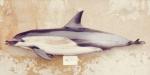 Short-beaked common dophin (Delphinus delphis) from California
