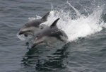 Dusky dolphins (Lagenorhynchus obscurus)