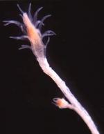 Turritopsis rubra polyp