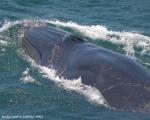 Bryde's whale (Balaenoptera edeni)