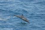Long-beaked common dolphin (Delphinus capensis)