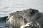 North Pacific right whale (Eubalaena japonica</I>)