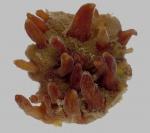 Polymastia harmelini holotype