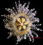 Staurocladia wellingtoni, living medusa [paratype], size about 7 mm