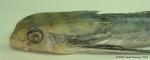 Dactylopterus volitans (Linnaeus, 1758)