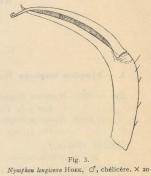Giltay (1934, fig. 03)