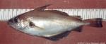 Trisopterus luscus (Linnaeus, 1758)