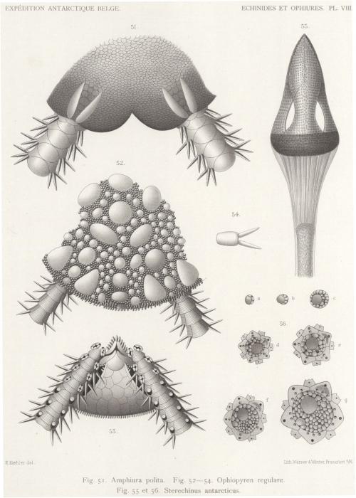 Koehler (1901, pl. 8)
