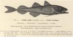 Dollo (1904, fig. 4)