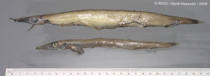 Paralepididae sp.