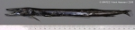 Uncisudis longirostris Maul, 1956