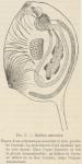 Van Beneden; de Selys Longchamps (1913, fig. C)