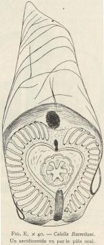 Van Beneden; de Selys Longchamps (1913, fig. E)