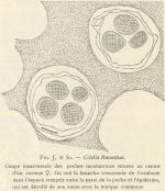 Van Beneden; de Selys Longchamps (1913, fig. J)