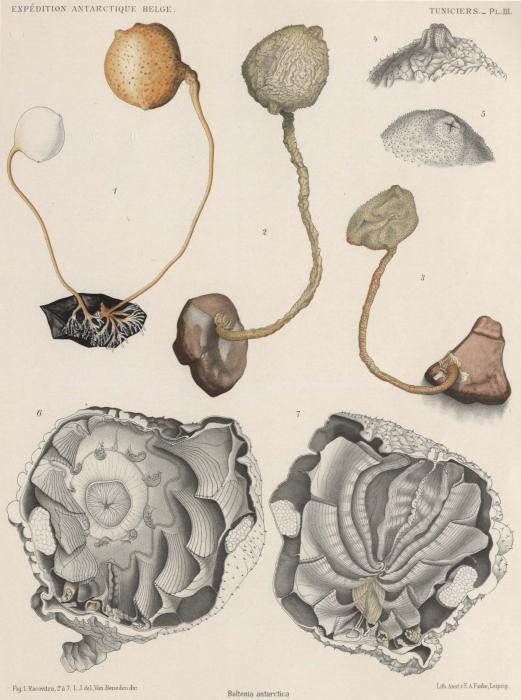 Van Beneden; de Selys Longchamps (1913, pl. 03)