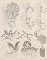 Van Beneden; de Selys Longchamps (1913, pl. 06)