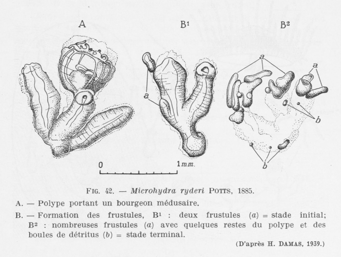Leloup (1952, fig. 42)