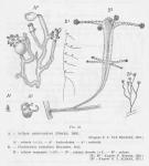 Syncoryne pusilla – van Beneden, 1844