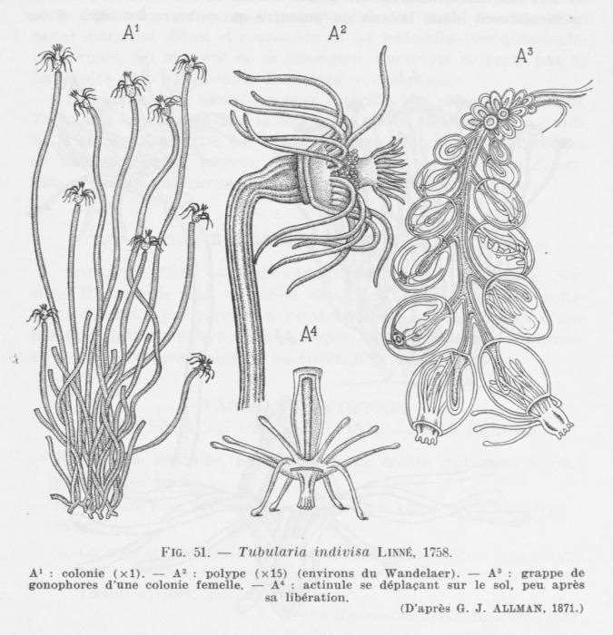 Leloup (1952, fig. 51)