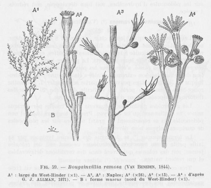 Leloup (1952, fig. 59)