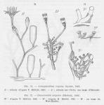 Leloup (1952, fig. 71 & 72)