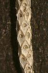 Cellaria salicornioides Lamouroux, 1816