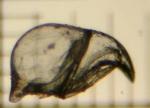 Bugula avicularia (Linnaeus, 1758)