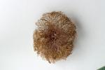 Bugula neritina (Linnaeus, 1758), specimen from Hendaye, marina, France, 2001