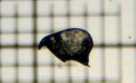Bugula stolonifera Ryland, 1960