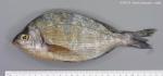 Spondyliosoma cantharus (Linnaeus, 1758)