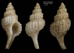 Trophonopsis barvicensis (Johnston, 1825)Specimen from Djibouti banks, Alboran Sea, 349-365 m  (actual size 7.3 mm)