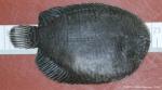 Achirus lineatus