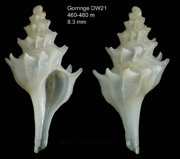 Pagodula echinata (Kiener, 1840) Specimen from Gorringe seamount, 'Seamount 1'  DW21, 460-480 m (actual size 8.3 mm)