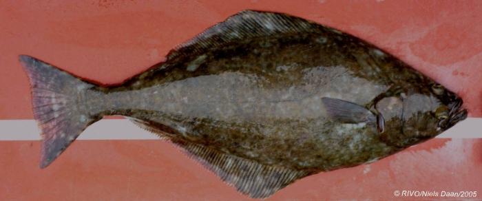 Hippoglossus hippoglossus (Linnaeus, 1758)