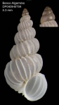 Epitonium algerianum (Weinkauff, 1866)Specimen from Djibouti Bank, Alboran Sea, 349-365 m (actual size 5.3 mm)
