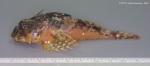 Taurulus bubalis (Euphrasen, 1786)