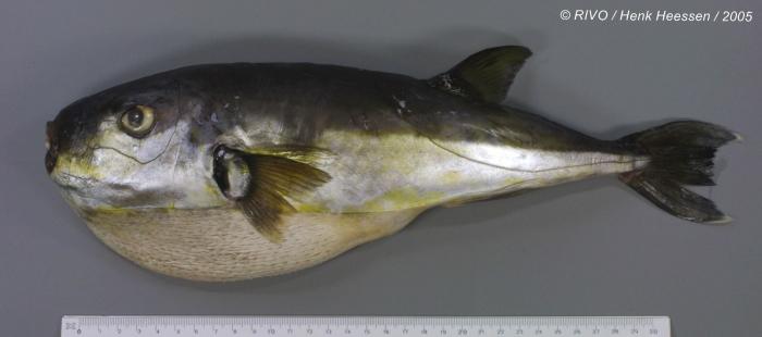 Lagocephalus lagocephalus (Linnaeus, 1758)