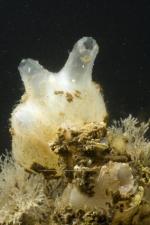 Molgula manhattensis